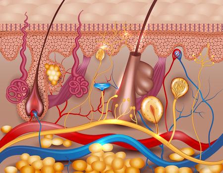 Illustrazione per Human skin detailed diagram. Beautiful bright colors. - Immagini Royalty Free