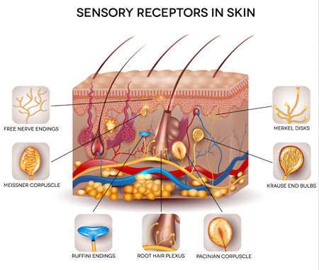 Foto per Sensory receptors in the skin. Detailed skin anatomy, beautiful bright colors. - Immagine Royalty Free