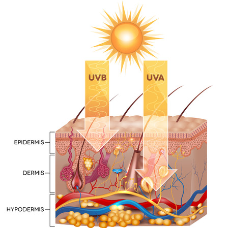 Illustration pour UVB and UVA radiation penetrate  into skin. Detailed skin anatomy. - image libre de droit
