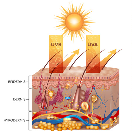 Illustration pour Protected skin with sunscreen lotion. UVB and UVA radiation can not penetrate into the skin. - image libre de droit