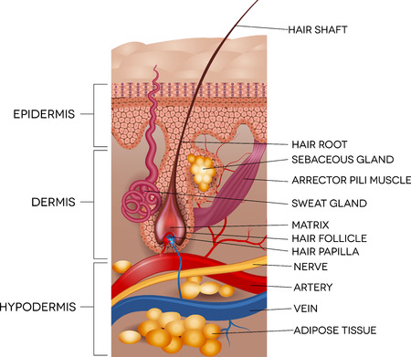 Foto per Labeled Skin and hair anatomy. Detailed medical illustration. - Immagine Royalty Free
