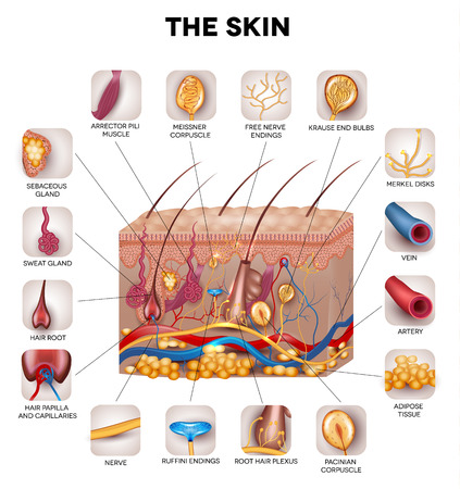 Illustration pour Skin anatomy, detailed illustration. Beautiful bright colors. - image libre de droit