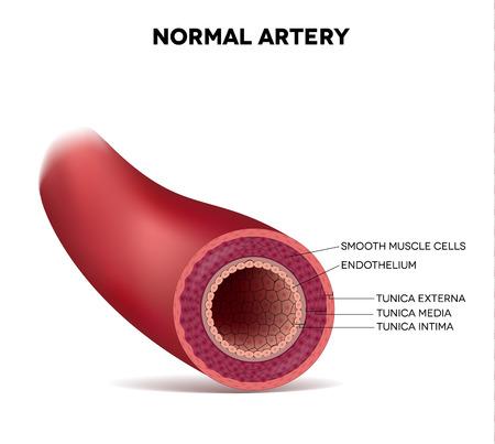 Illustration pour Healthy human elastic artery, detailed illustration - image libre de droit