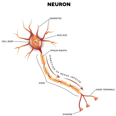 Illustration pour Labeled diagram of the neuron, nerve cell that is the main part of the nervous system. - image libre de droit