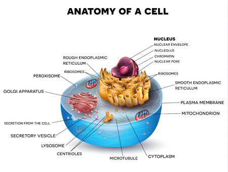Foto de Cell structure, cross section of the cell detailed colorful anatomy with description - Imagen libre de derechos