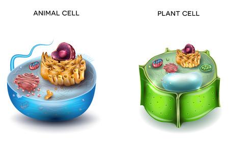 Ilustración de Animal Cell and Plant Cell structure, cross section detailed colorful anatomy. - Imagen libre de derechos