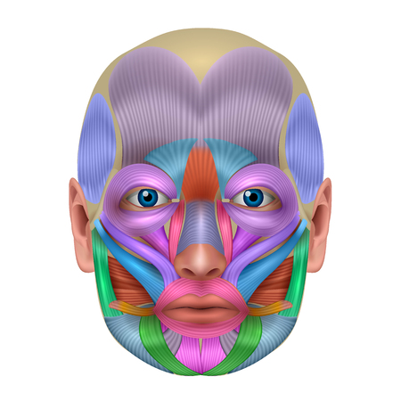 Illustration pour Muscles of the face structure, each muscle pair illustrated in a bright color, detailed anatomy isolated on a white background. - image libre de droit