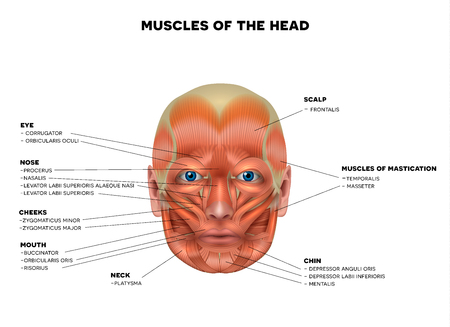 Illustration pour Muscles of the face and the name of each muscle, detailed bright anatomy isolated on a white background. - image libre de droit