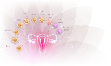 Illustration pour Female reproductive organs uterus and ovaries ovulation, fertilization by male sperm and cell development till blastocyst implantation. Beautiful artistic design, transparent flower at the background. - image libre de droit