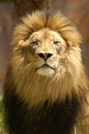 A lion king in his prime looking over his domain.