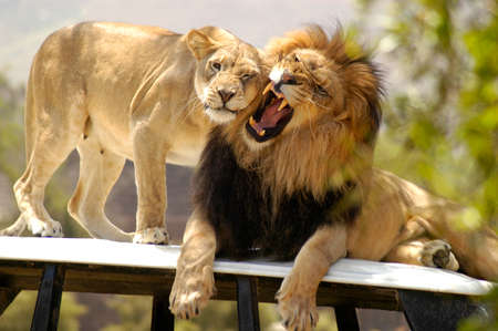 Photo pour Male lion not in the mood from affectionate lioness. - image libre de droit