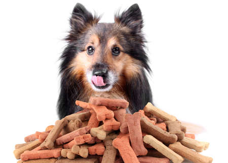 Photo for Beautiful Sheltie licking his nose with dog bone shaped treats or biscuits - Royalty Free Image