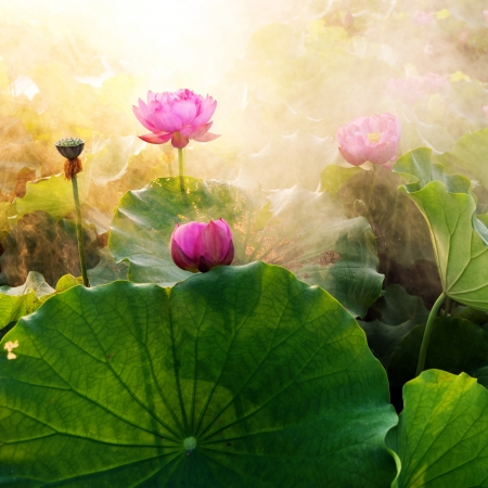 Photo pour beautiful lotus flower in blooming at sunset  - image libre de droit