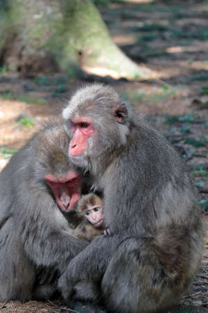 Photo pour Japanese macaque family - image libre de droit