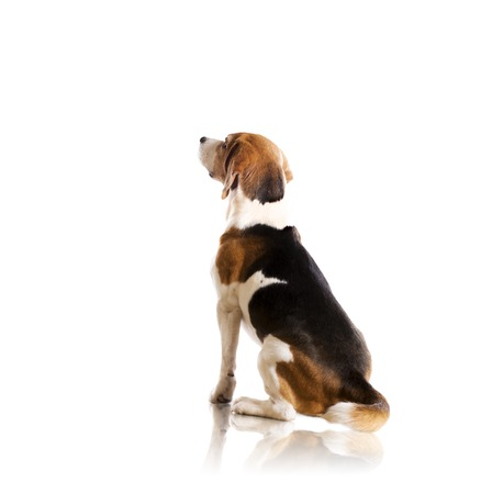 Photo for Dog is posing in studio - isolated on white background - Royalty Free Image