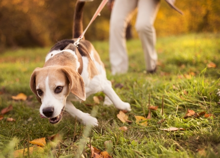 Photo pour Senior woman walking her beagle dog in countryside - image libre de droit