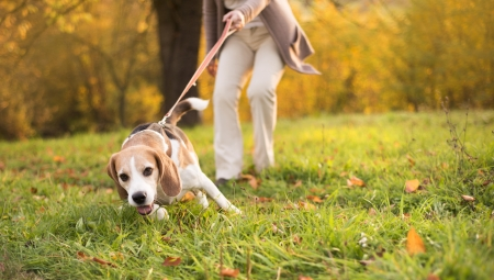 Photo pour Senior woman walking her beagle dog in countryside - image libre de droit