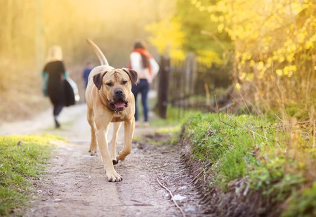 Photo for Beautiful purebred dog walking in the forest - Royalty Free Image