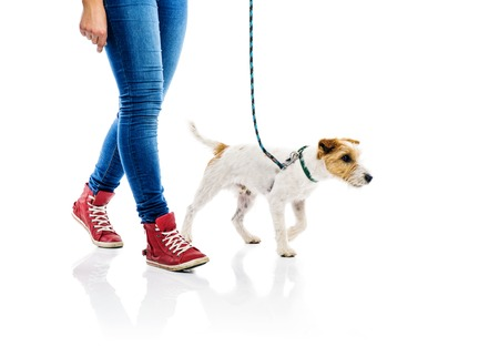 Photo pour Cute parson russell terrier dog on lead on walk with his owner, isolated on white background - image libre de droit