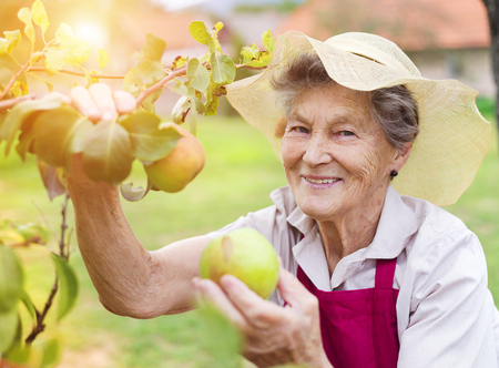 Photo pour Senior woman in her garden harvesting pears - image libre de droit