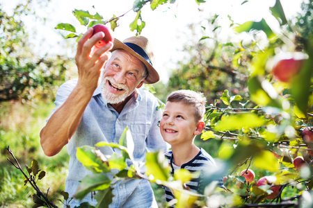 Photo pour A senior man with grandson picking apples in orchard in autumn. - image libre de droit