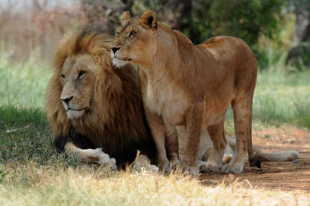 Lion and lioness sitting on grass, South Africa