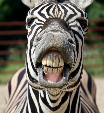 Photo pour Zebra smile and teeth - image libre de droit