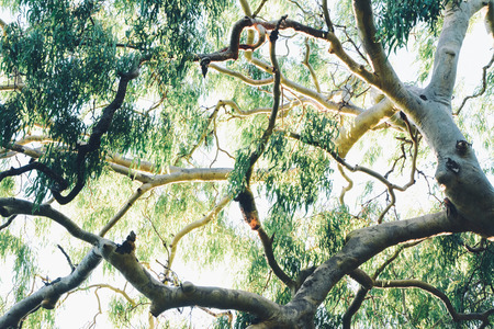 Photo for Gumtree Branches - Royalty Free Image