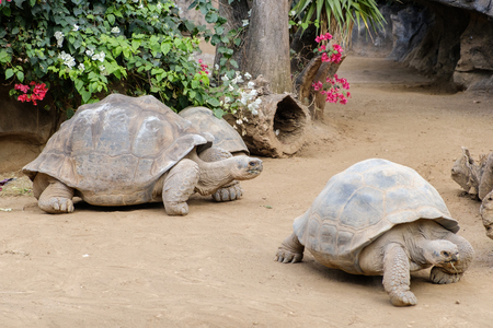 Photo for huge galapagos tortoise - Royalty Free Image