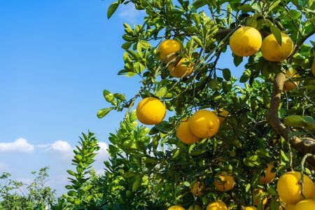Photo pour Ripe pomelo fruits hang on the trees in the garden. - image libre de droit