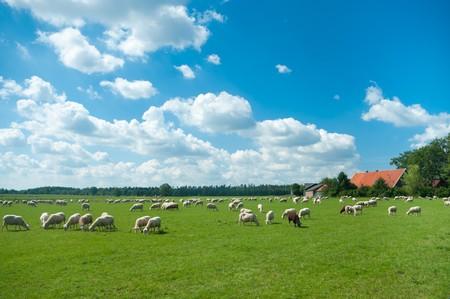 Foto de flock of sheep grazing in a meadow somewhere in the netherlands - Imagen libre de derechos