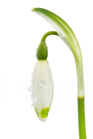 Spring snowflake Leucojum vernum on white