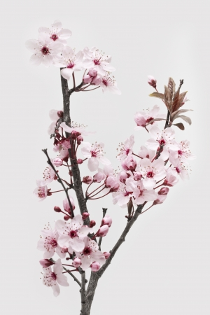 Photo for Cherry Plum or Myrobalan Blossoms on white background - Royalty Free Image