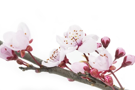 Cherry Plum or Myrobalan Blossoms on white background
