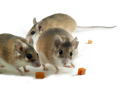 Foto de Three light yellow spiny mouses with white belly on a white background with pieces of fruit or vegetables - Imagen libre de derechos