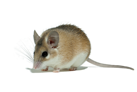Photo for light yellow spiny mouse with white belly on a white background sits sideways to the viewer - Royalty Free Image