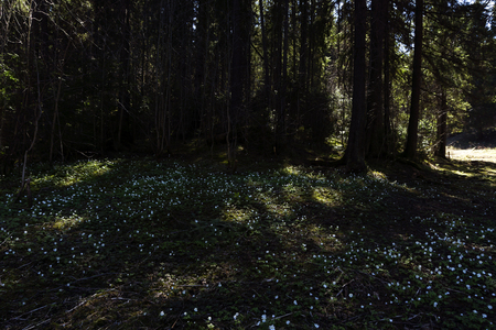 Photo for shady spring clearing in a spruce forest, covered with many small white flowers of snowdrops - Royalty Free Image