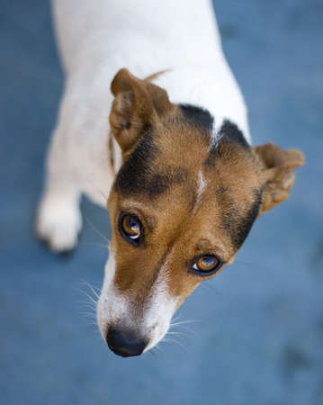 sad looking jack russel dog