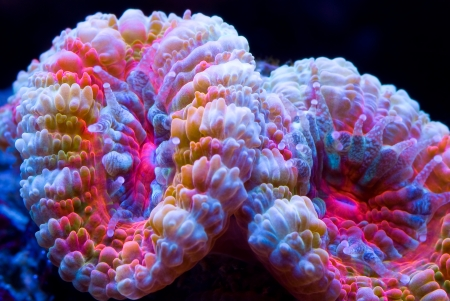 Acanthastrea coral with multi colors set on a black background