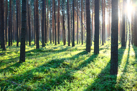 Photo pour Early morning with sunrise in pine forest - image libre de droit