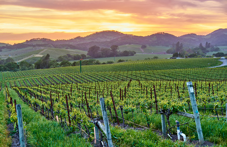 Foto de Vineyards landscape at sunset in California, USA - Imagen libre de derechos