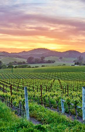 Foto de Vineyards landscape at sunset in California, USA - Imagen libre de derechos