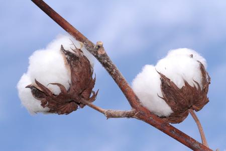 Foto de Cotton plant. - Imagen libre de derechos