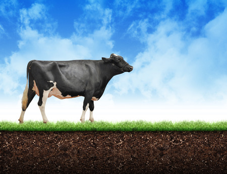 Photo pour A black and white fram cow is walking on green grass with soil below and clouds above it with copyspace. Use it for a dairy or agriculture concept. - image libre de droit