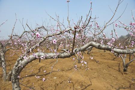 Photo pour Peach farmland - image libre de droit