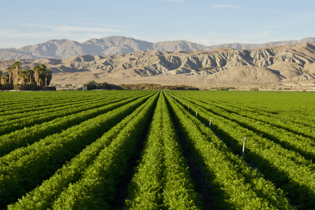 Photo for Carrot field in Indio Californian Desert in November - Royalty Free Image