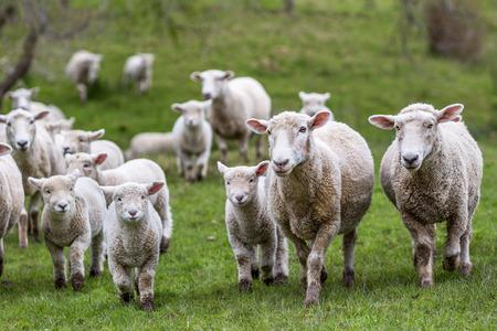Photo pour New Zealand farm sheep lambs - image libre de droit