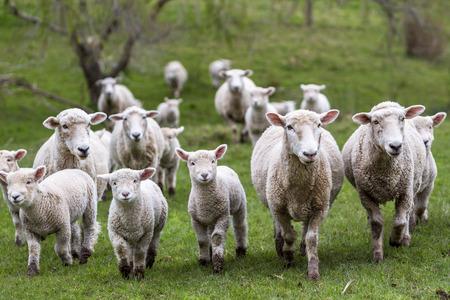 Foto de Sheep and lambs in paddock - Imagen libre de derechos