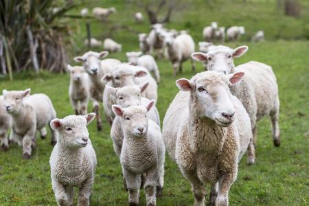 Foto de Lambs and sheep green grass - Imagen libre de derechos