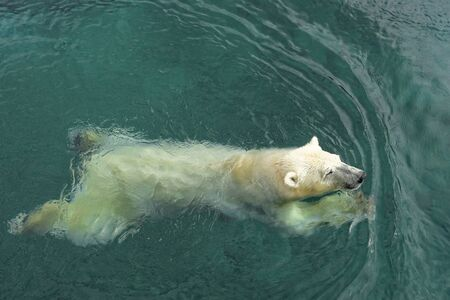 Photo pour Polar bear (Ursus maritimus) is a hypercarnivorous bear whose native range lies largely within the Arctic Circle, encompassing the Arctic Ocean, its surrounding seas and surrounding land masses. - image libre de droit